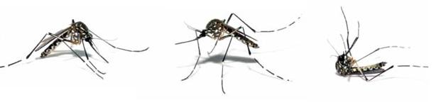 Mosquito tigre 6